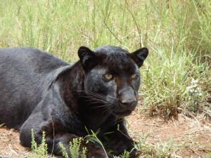 leopardo nero 1