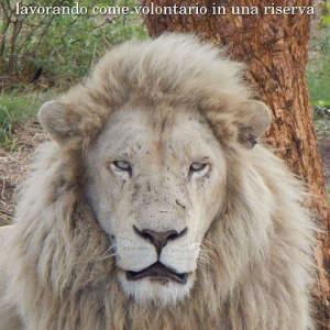 Un Mese tra i leoni, lavorando come volontario in una riserva