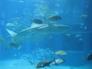 japan osaka aquarium whale shark