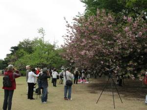 japan tokyo garden cherry tree