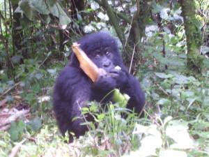 congo virunga gorilla 1