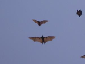 rwanda kivu lake bats 2