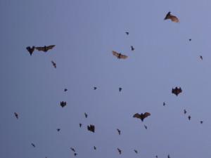 rwanda kivu lake bats