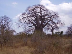 tanzania ruaha baobab