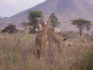 tanzania ruaha giraffa 1