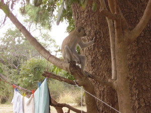 zambia-south luangwa camping monkey