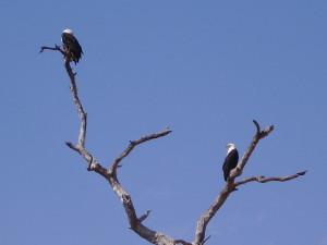 zambia south luangwa eagle