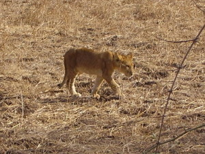 zambia south luangwa lion 1