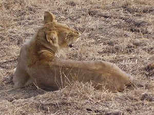 zambia south luangwa lion 4